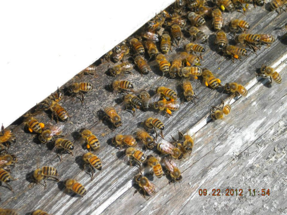 Bees taking pollen into their hive